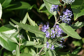Caryopteris Heavenly Blue