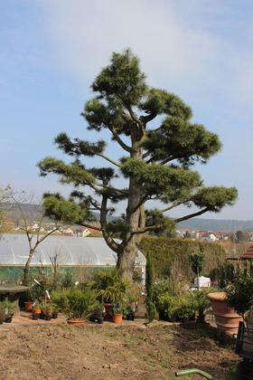 Pinus nigra var austriaca