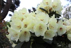 Japanische Azaleen/Rhododendron