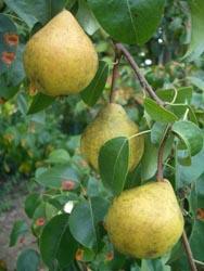 Foto von Birnen der Sorte Zitronenbirne