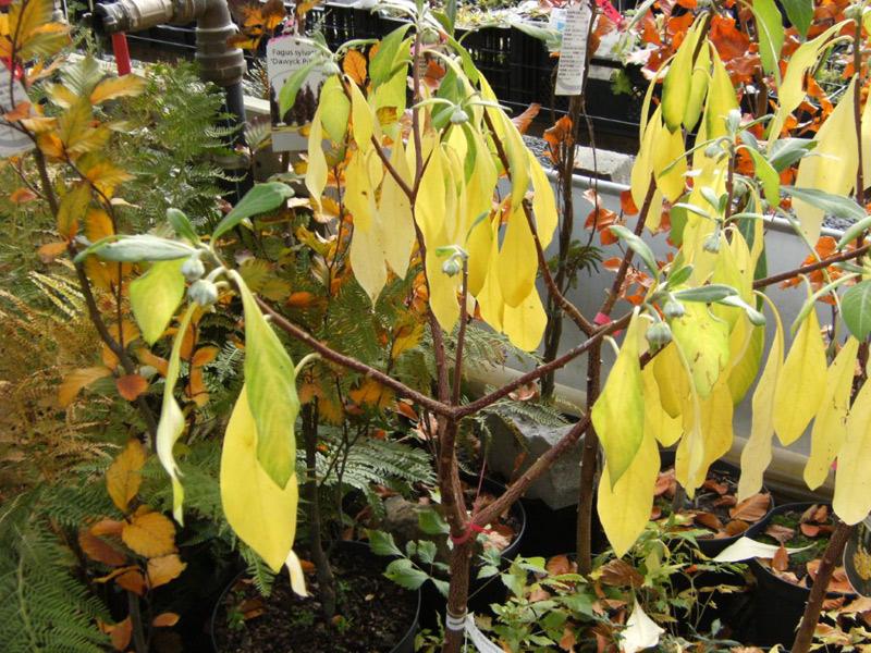 Edgeworthia Chrysanthia