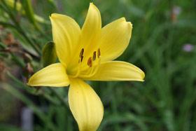 Foto der Taglilie Aurantiacum